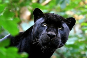 tumblr_l4kkdaJ8r41qb7xgto1_500--jaguar